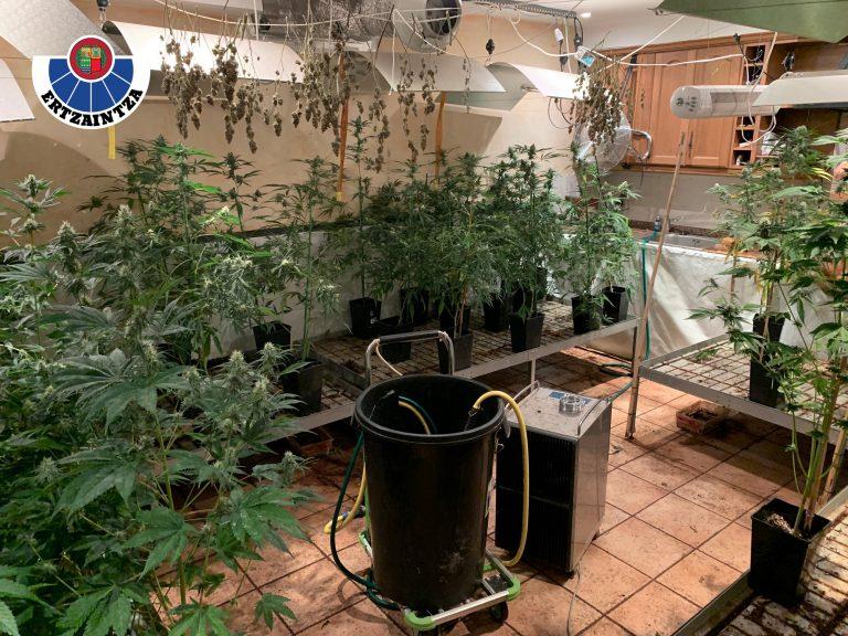 Descubierta una plantación de marihuana en una vivienda de Zizurkil